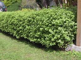 PITTOSPORUM - ASTD VARIETIES 200MM