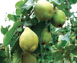 PRE ORDER - QUINCE SMYRNA - BARE ROOTED