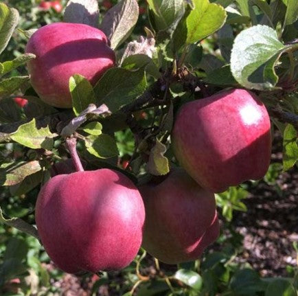 PRE ORDER - APPLE RED DELICIOUS - BARE ROOTED