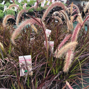 PENNISETUM RUBRUM RED RIDING HOOD