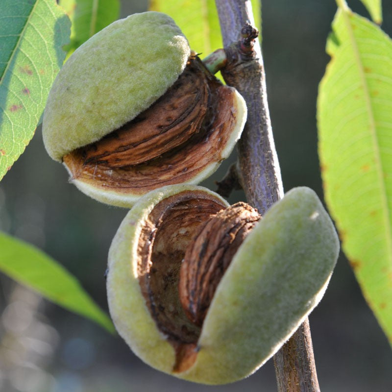 PRE ORDER - ALMOND DWARF SELF POLLINATING - BARE ROOTED