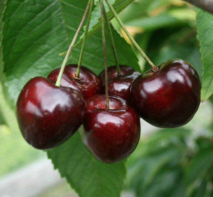 PRE ORDER - CHERRY DWARF STELLA - BARE ROOTED