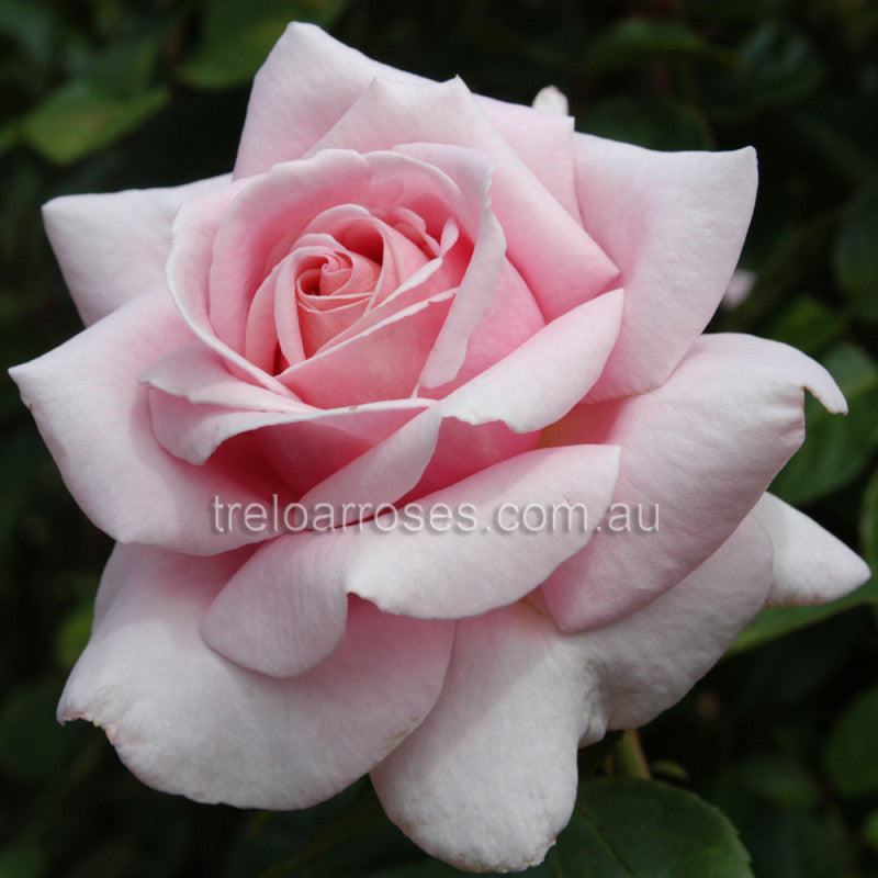 PRE ORDER - THE CHILDRENS ROSE - BARE ROOTED