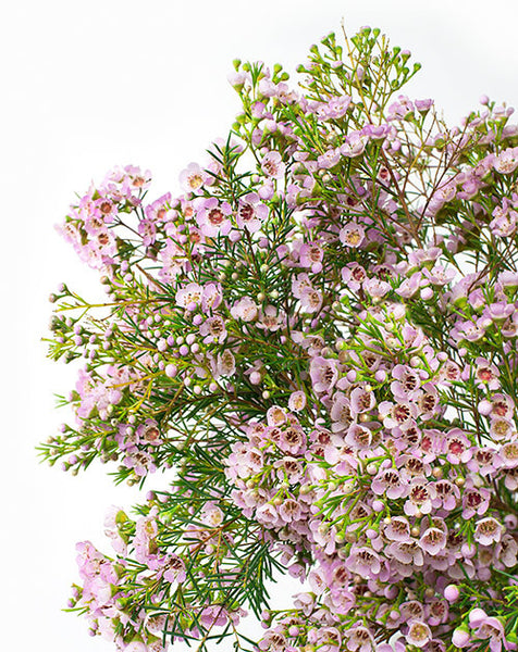 Wax Flowers - Pale Pink