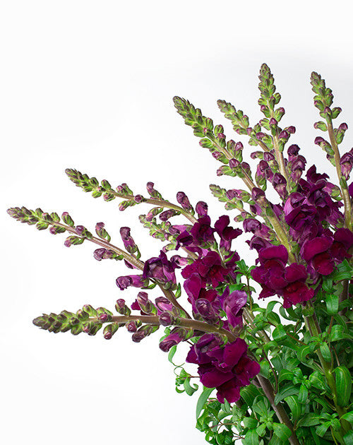 Snapdragons - Burgundy