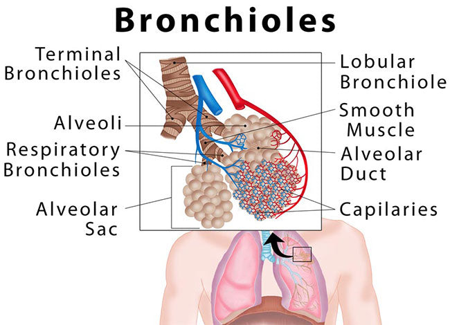 Bronchioles COPD