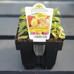 Antirrhinum Dwarf Mix 6pack