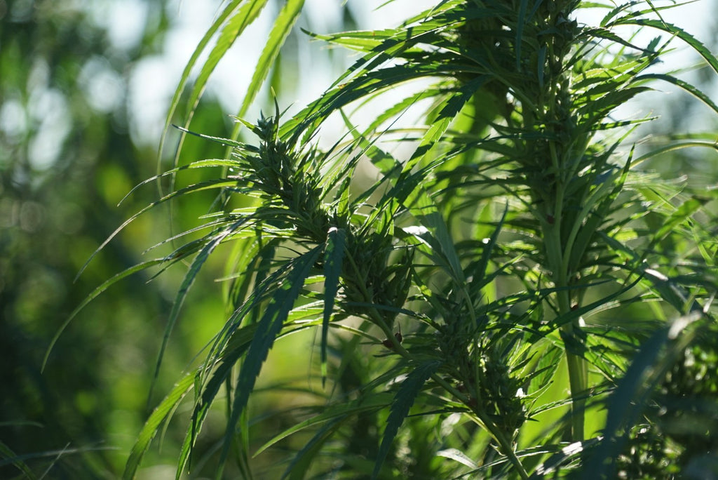 Hemp 101: Let's break it Down