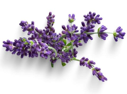 Lavender essential oil benefits have been known for hundreds of years