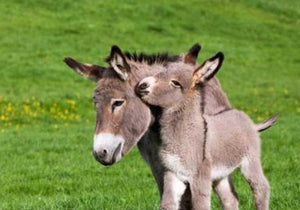Donkey with Mother Diamond Painting