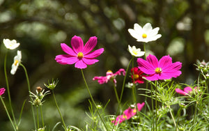 Cosmos Flowers Paint by Diamonds