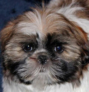 Cute Shih Tzu Dog Paint by Diamonds