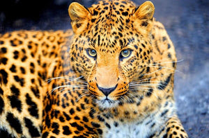 Enchanting Leopard Paint by Diamonds
