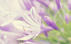Lavender Flower Close up Diamond Painting Kit