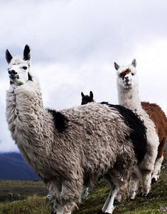 Llamas Paint by Diamonds