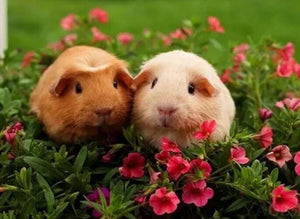 Guinea pigs Pair Diamond Painting