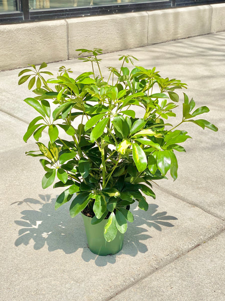"Schefflera Plant 6"" (LOCAL PICK UP ONLY)"