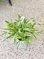 "Spider Plant 8"" Pot (LOCAL PICK UP ONLY)"