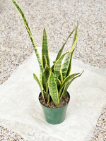 "Black Gold Sansevieria Plant 6"" (LOCAL PICKUP ONLY)"