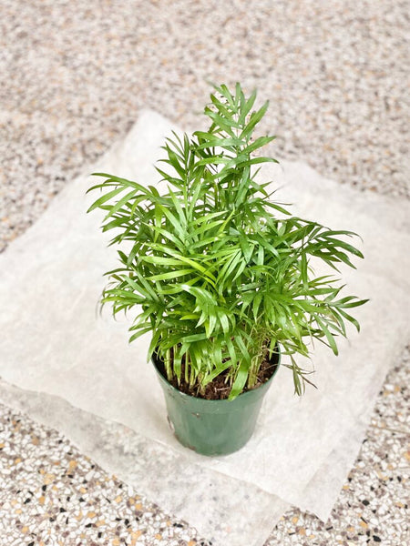 "Parlor Palm 6"" Plant - Pet Friendly! (LOCAL DELIVERY / PICK UP ONLY)"
