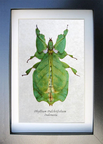 REAL GREEN JUNGLE NYMPH HETEROPTERYX DILATATA TAXIDERMY IN BLK SHADOWBOX FRAME