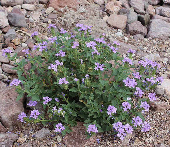1 gallon - Goodding's verbena (Glandularia gooddingii)