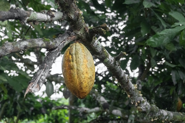 Whats the difference between Cacao and Cocoa?