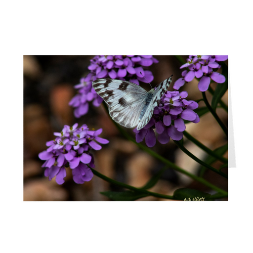 "The photograph ""Yarrow and Checkered White"" imprinted on a 5X7 greeting card with an unprinted interior.  These high quality paper cards come pre-folded, packed in cello sleeves per 10 cards, and include a white envelope for each card. Works well with regular ballpoint pens after a short drying time."