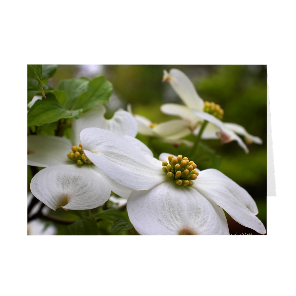 The photograph Dogwood April 2019 imprinted on a 5X7 card with an unprinted interior. These high-quality paper cards come pre-folded, packed in cello sleeves per 10 cards, and includes a white envelope for each card. Works well with regular ballpoint pens after a short drying time.