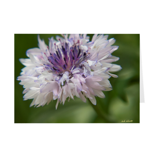 "The photograph ""White Centaurea"" imprinted on a 5X7 greeting card with an unprinted interior.  These high-quality paper cards come pre-folded, packed in cello sleeves per 10 cards, and include a white envelope for each card. Works well with regular ballpoint pens after a short drying time."