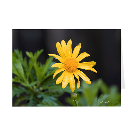 "The photograph ""March Marguerite 2021"" imprinted on a 5X7 greeting card with an unprinted interior.  These high-quality paper cards come pre-folded, packed in cello sleeves per 10 cards, and include a white envelope for each card."