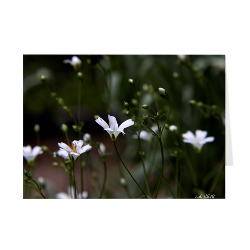 "The photograph ""White Wildflowers"" imprinted on a 5X7 greeting card with an unprinted interior.  These high-quality paper cards come pre-folded, packed in cello sleeves per 10 cards, and include a white envelope for each card. Works well with regular ballpoint pens after a short drying time."