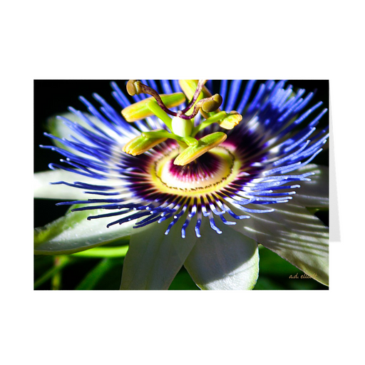 The photograph Passion Flower imprinted on a 5X7 greeting card with an unprinted interior  These high quality paper cards come pre-folded, packed in cello sleeves per 10 cards, and includes a white envelope for each card. Works well with regular ballpoint pens after short drying time.