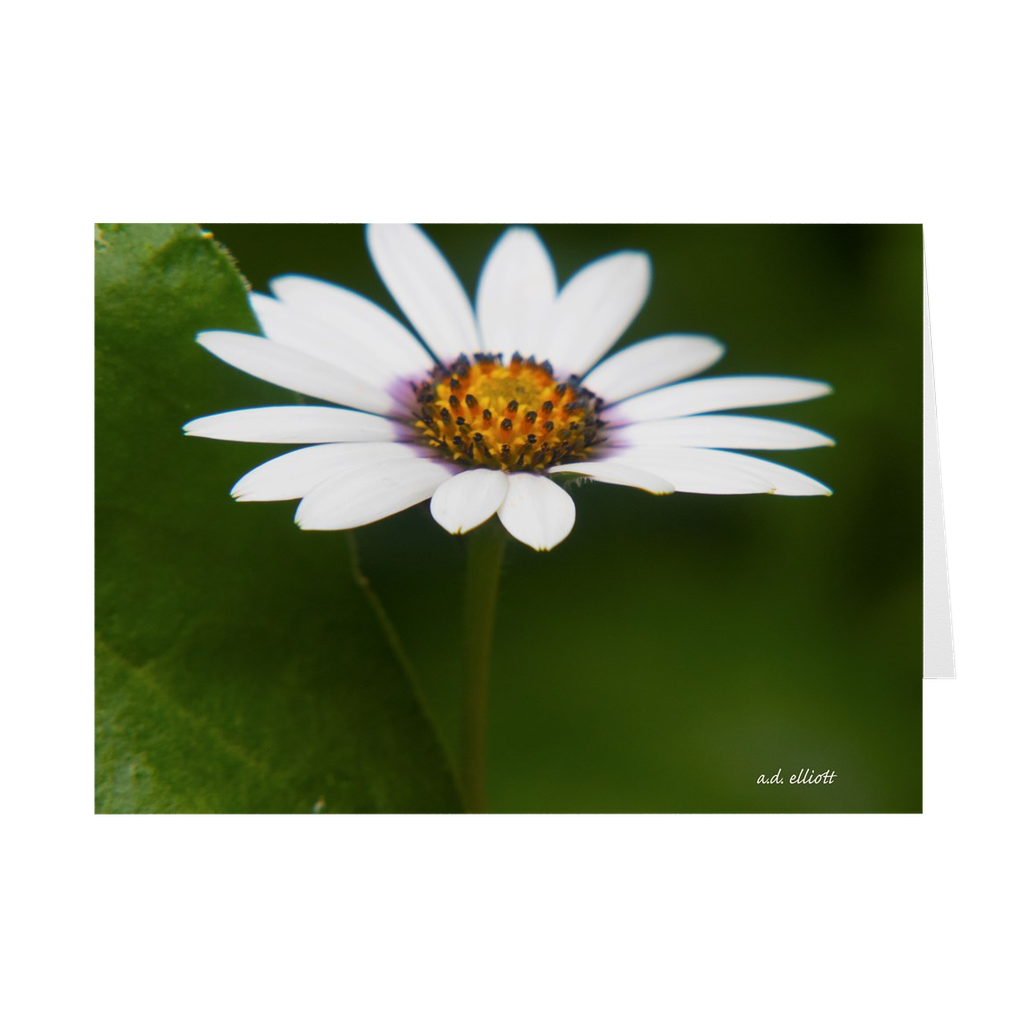 "The photograph ""June Daisy"" imprinted on a 5X7 greeting card with an unprinted interior.  These high-quality paper cards come pre-folded, packed in cello sleeves per 10 cards, and includes a white envelope for each card. Works well with regular ballpoint pens after a short drying time."