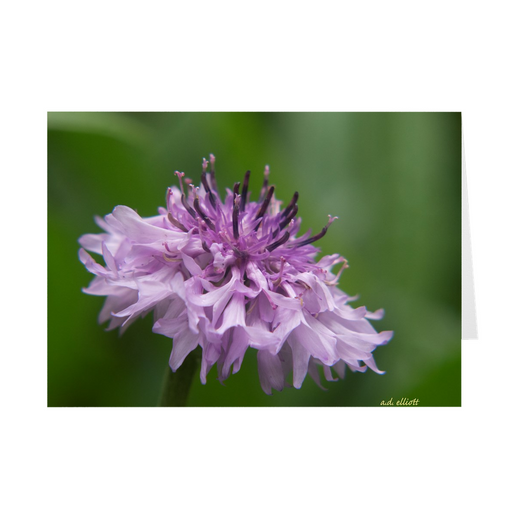 The photograph Pink Centaurea imprinted on a 5x7 card with an unprinted interior.  These high-quality paper cards come pre-folded, packed in cello sleeves per 10 cards, and includes a white envelope for each card. Works well with regular ballpoint pens after a short drying time.