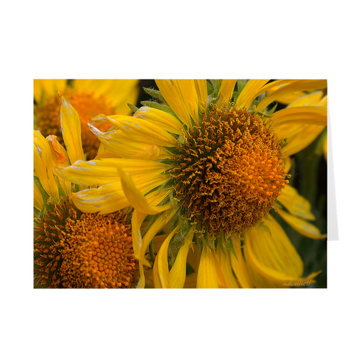 The photograph Alpine Sunflowers imprinted on a 5X7 greeting card with an unprinted interior.  These high quality paper cards come pre-folded, packed in cello sleeves per 10 cards, and includes a white envelope for each card. Works well with regular ballpoint pens after short drying time.