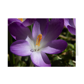 The photograph Crocus Detail 2019 imprinted on a 5X7 greeting card with an unprinted interior.  These high-quality paper cards come pre-folded, packed in cello sleeves per 10 cards, and includes a white envelope for each card. Works well with regular ballpoint pens after a short drying time.