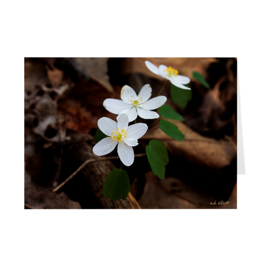 The photograph Rue Anemone X 3 imprinted on a 5X7 greeting card with an unprinted interior. These high quality paper cards come pre-folded, packed in cello sleeves per 10 cards, and includes a white envelope for each card. Works well with regular ballpoint pens after a short drying time.