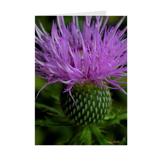 The photograph Thistle August 2018 imprinted on a 5X7 Greeting card with an unprinted interior.  These high-quality paper cards come pre-folded, packed in cello sleeves per 10 cards, and includes a white envelope for each card. Works well with regular ballpoint pens after a short drying time.