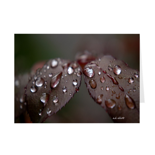 "The photograph ""Raindrops on Rose Leaves"" imprinted on a 5X7 greeting card with an unprinted interior.  These high-quality paper cards come pre-folded, packed in cello sleeves per 10 cards, and includes a white envelope for each card. Works well with regular ballpoint pens after a short drying time."