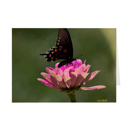 "The photograph ""Swallowtail and Pink Zinnia"" imprinted on a 5X7 greeting card with an unprinted interior.  These high-quality paper cards come pre-folded, packed in cello sleeves per 10 cards, and includes a white envelope for each card. Works well with regular ballpoint pens after a short drying time."