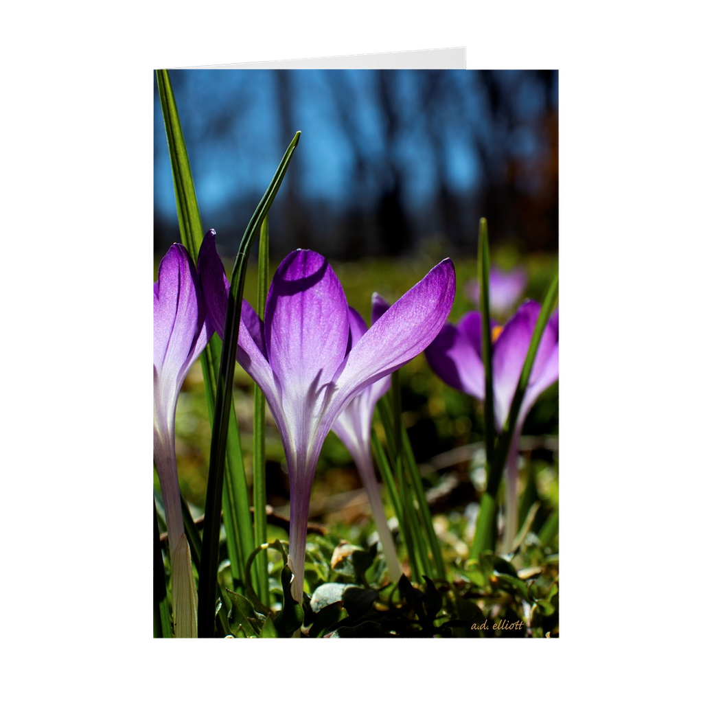 The photograph Crocus Blooms 2019 imprinted on a 5X7 Greeting Card with an unprinted interior.  These high-quality paper cards come pre-folded, packed in cello sleeves per 10 cards, and includes a white envelope for each card. Works well with regular ballpoint pens after a short drying time.