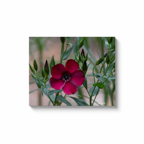 A macro photograph of a scarlet flax. Taken by the Arkansas photographer a.d. elliott. #TaketheBackRoads  Printed on high quality, artist grade stock and folded around a lightweight frame to give them a gorgeous, gallery ready appearance. With acid free ink that will last without fading or chipping, Features a scratch-resistant UV coating. Wipes clean easily with a damp cloth or to remove dust, vacuum gently using a soft brush attachment.