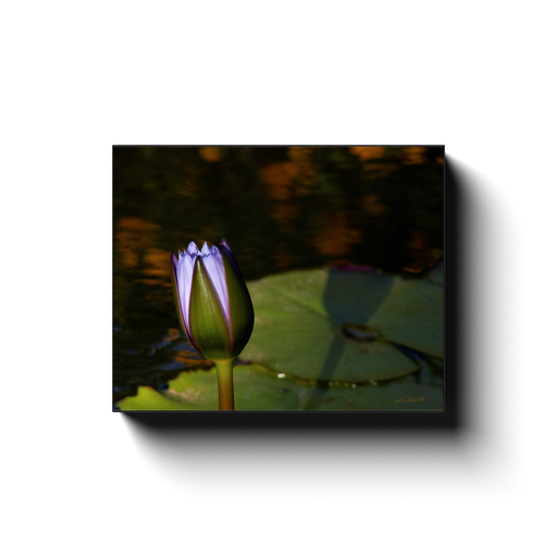 A macro photograph of a lotus in the bud. Taken by the photographer a.d. elliott - Take the Back Roads #TaketheBackRoads  Printed on high quality, artist-grade stock and folded around a lightweight frame to give them a gorgeous, gallery-ready appearance. With acid-free ink that will last without fading or chipping, Features a scratch-resistant UV coating. Wipes clean easily with a damp cloth or to remove dust, vacuum gently using a soft brush attachment.