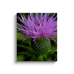 A macro photograph of a thistle taken by the photographer a.d. elliott.  Printed on high quality, artist-grade stock and folded around a lightweight frame to give them a gorgeous, gallery-ready appearance. With acid-free ink that will last without fading or chipping, Features a scratch-resistant UV coating. Wipes clean easily with a damp cloth or to remove dust, vacuum gently using a soft brush attachment.