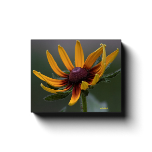 A macro photograph of a rudbeckia, taken by the photographer a.d. elliott  Printed on high quality, artist-grade stock and folded around a lightweight frame to give them a gorgeous, gallery-ready appearance. With acid-free ink that will last without fading or chipping, Features a scratch-resistant UV coating. Wipes clean easily with a damp cloth or to remove dust, vacuum gently using a soft brush attachment.