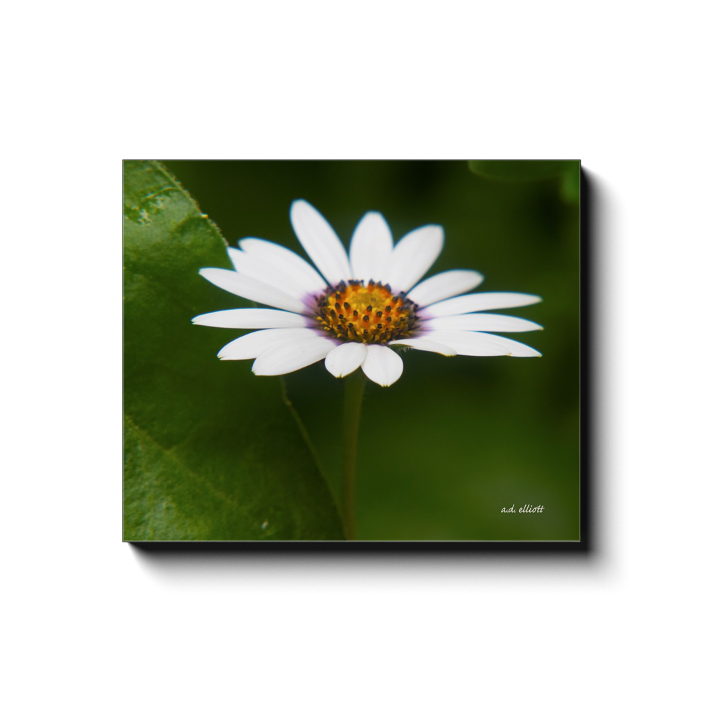 A macro photograph of a white daisy, taken by the photographer a.d. elliott - Take the Back Roads #TaketheBackRoads.  Printed on high quality, artist-grade stock and folded around a lightweight frame to give them a gorgeous, gallery-ready appearance. With acid-free ink that will last without fading or chipping, Features a scratch-resistant UV coating. Wipes clean easily with a damp cloth or to remove dust, vacuum gently using a soft brush attachment.