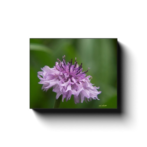 A macro photograph of a pink Centaurea flower. Taken by the photographer a.d. elliott. Printed on high quality, artist-grade stock and folded around a lightweight frame to give them a gorgeous, gallery-ready appearance. With acid-free ink that will last without fading or chipping, Features a scratch-resistant UV coating. Wipes clean easily with a damp cloth or to remove dust, vacuum gently using a soft brush attachment.