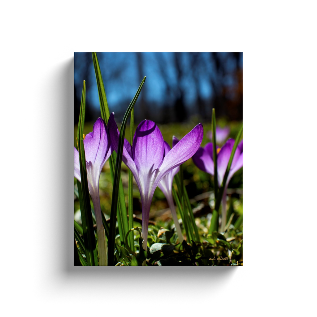 A macro photograph of purple crocus blossoms. Taken by the Arkansas photographer a.d. elliott #TaketheBackRoads  Printed on high quality, artist-grade stock and folded around a lightweight frame to give them a gorgeous, gallery-ready appearance. With acid-free ink that will last without fading or chipping, Features a scratch-resistant UV coating. Wipes clean easily with a damp cloth or to remove dust, vacuum gently using a soft brush attachment.