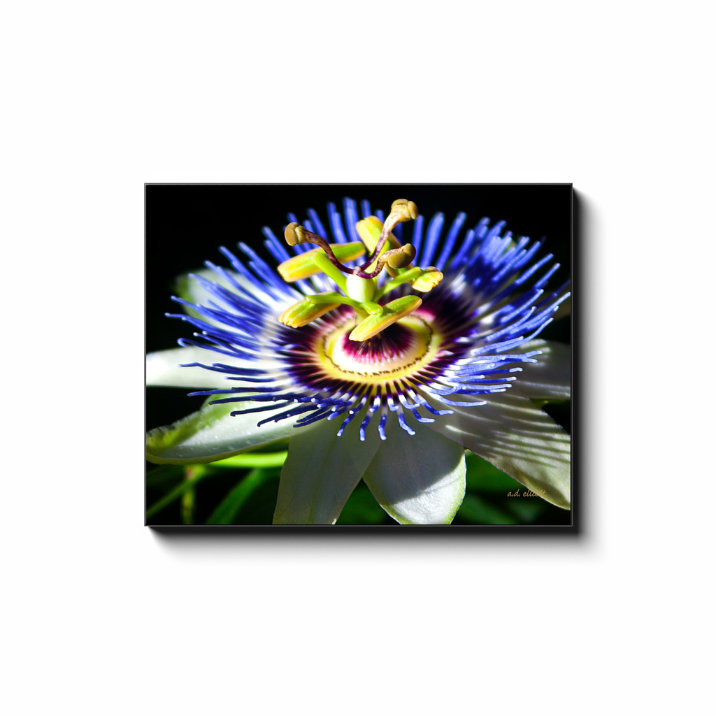 A macro photograph of a passion flower, taken by the photographer a.d. elliott.  Printed on high quality, artist grade stock and folded around a lightweight frame to give them a gorgeous, gallery ready appearance. With acid free ink that will last without fading or chipping, Features a scratch-resistant UV coating. Wipes clean easily with a damp cloth or to remove dust, vacuum gently using a soft brush attachment.